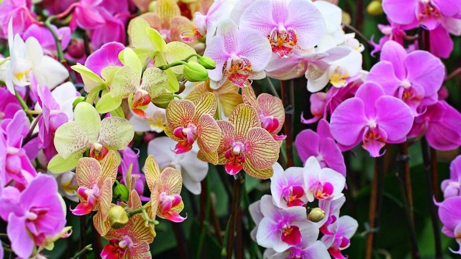 10 Foto Bunga Anggrek dari Berbagai Daerah di Indonesia