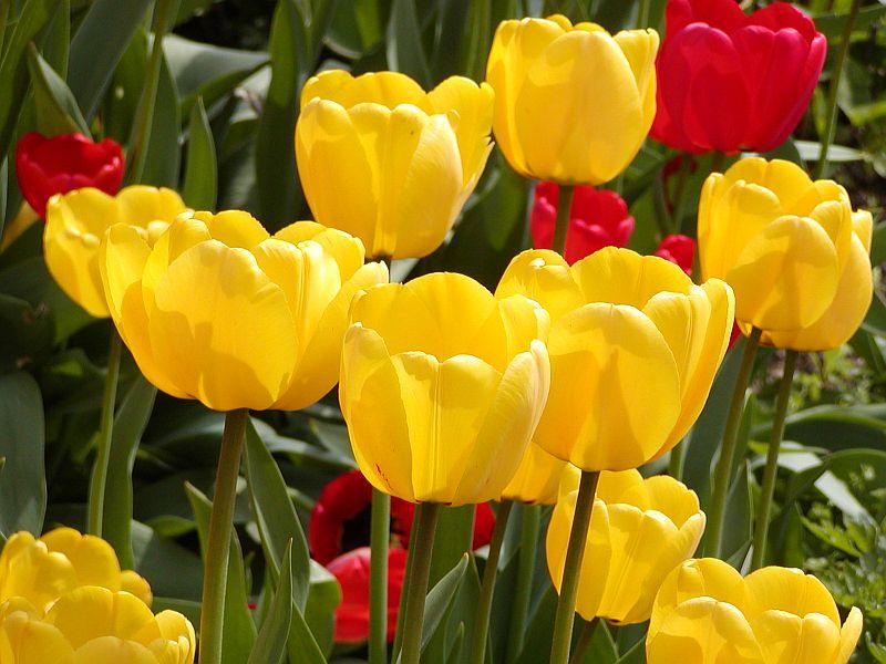 23 Bunga Yang Cantik Ini Menjadi Bunga Nasional Di Berbagai Negara