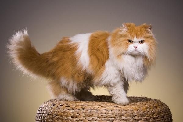 Kucing Persia Jenis Dan Cara Perawatan Satu Jam
